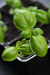 Close-up of growing green basil, vertical shot
