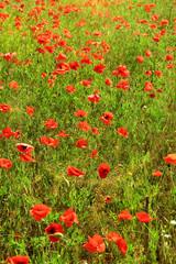 Beautiful poppy flowers in the field