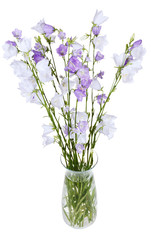 bunch of campanula bellflower in glass vase