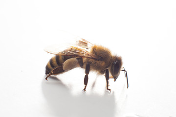 Close-up of a single Bee isolated on a white background