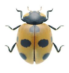 Beetle Coccinella magnifica