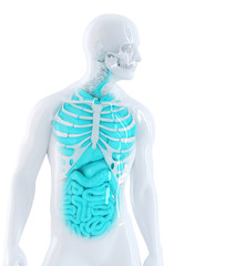 3d human internal organs. Isolated. Clipping path