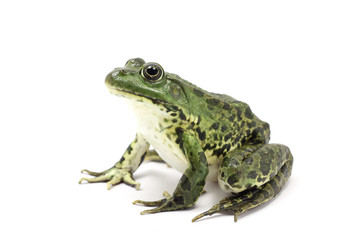 spotted dark green frog on a white background