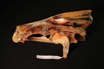 sea bass skull