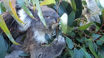 Fotoväggar - Koala
