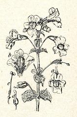 Yellow monkey flower (Mimulus luteus)