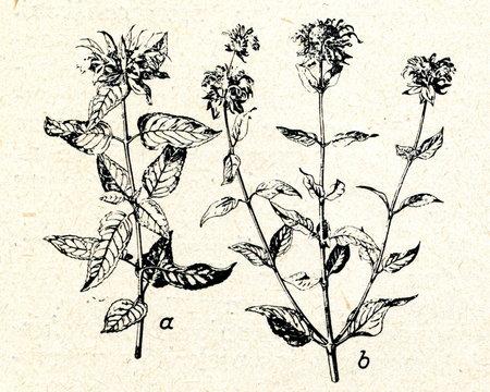Monarda didyma (a) and Monarda fistulosa (b)