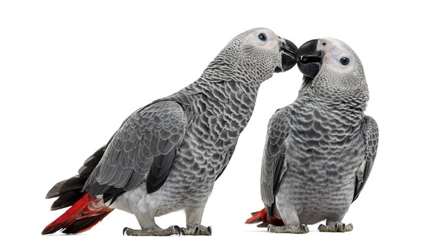 Two African Grey Parrot (3 months old) pecking