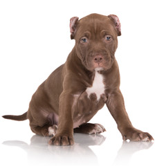 american pit bull puppy portrait