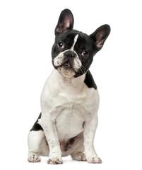 Tuinposter Franse bulldog French Bulldog puppy (6 months old)