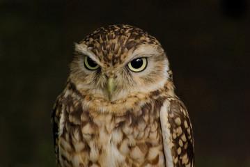 Fototapete - Northern pygmy owl (Glaucidium gnoma)_1