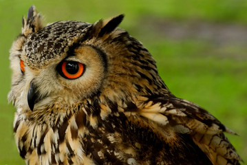 Wall Mural - Bengali Eagle Owl (Bubo bengalensis) 2