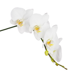 Orchid isolated on white background.