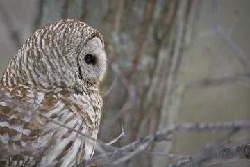 Fotoväggar - Barred Owl - Looking to Right