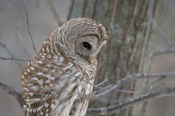 Fotoväggar - Barred Owl - Looking at Prey