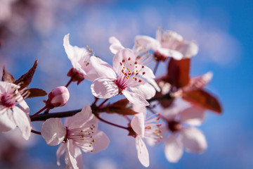 Beautiful pink spring cherry blossom
