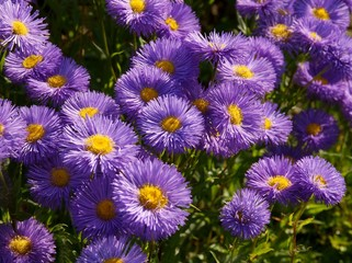 lila flowers of asters in a garden