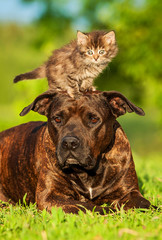 Wall Mural - Kitten standing on the head of american staffordshire terrier