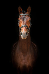 Portrait of bay stallion on black background