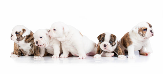 Five english bulldog puppies