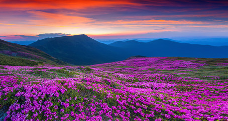 Wall Mural - Magic pink rhododendron flowers on summer mountain.