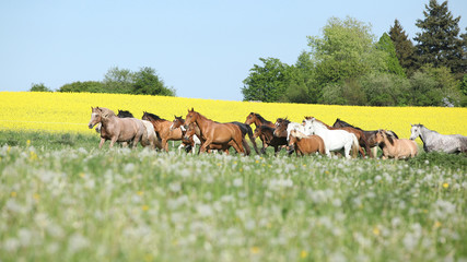 Fototapete - Very various barch of horses running on pasturage