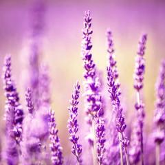 Vintage lavender flower