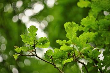 Green oak leaves seamless texture