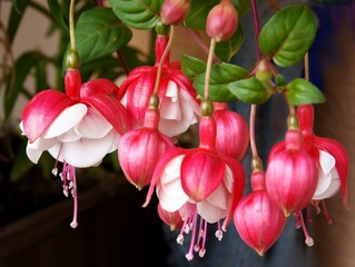 flowers of fuchsia