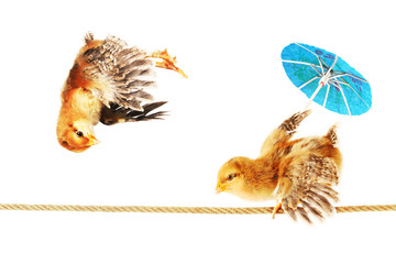 2 Chicks Dancing on a Tightrope