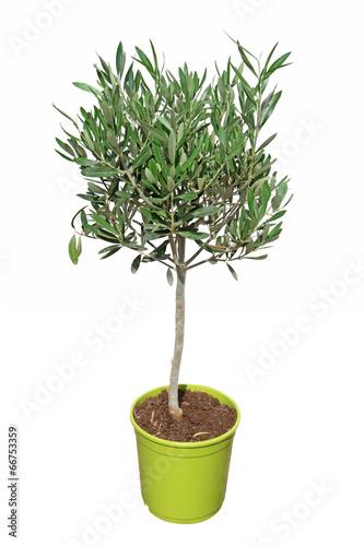 Olivier taill en boule en pot photo libre de droits sur la banque d 39 images - Taille de l olivier en pot ...