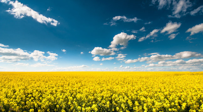Empty canola field with cloudy sky