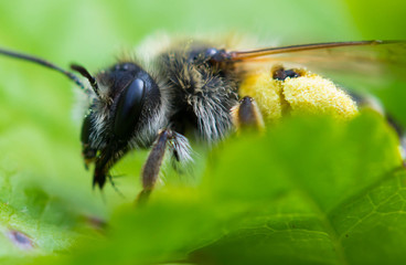 Biene auf Blatt