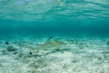 Reef Shark in French Polynesia