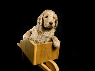 Labradoodle Puppy in a Wheelbarrow