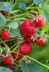 Fresh strawberries grow in the garden.