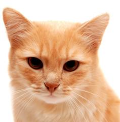 Beautiful ginger cat