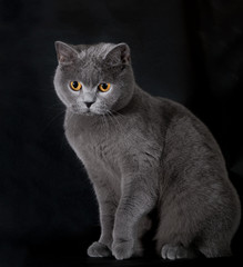 british cat on a black background in studio