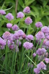 Dekorative Blüten des Schnittlauchs
