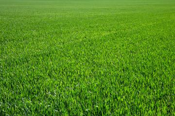 Fotobehang Gras green grass