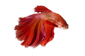 Siamese Fighting Fish isolated on white : Clipping path included