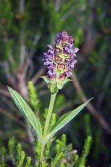 Florecilla de herbácea silvestre, Sauceda, Hurdes