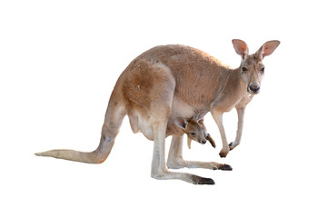 Papiers peints Kangaroo kangaroo with joey