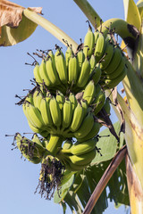 Green banan trees and fruits. Bananas on branch in garden.