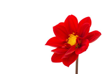 red dahlia isolated