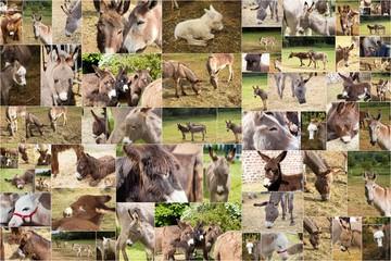 collages de photos d'anes ânes
