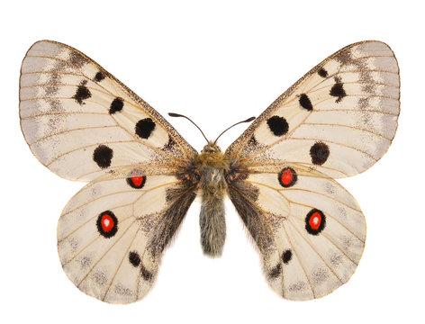The Apollo butterfly (Parnassius apollo)