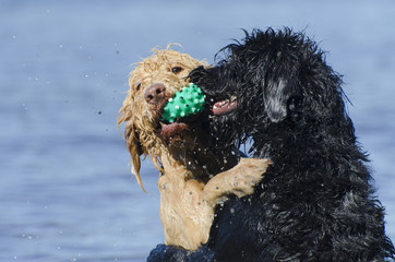 Dogs Retreiving the Same Ball in the Water