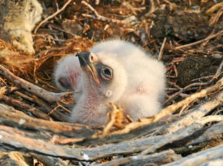 nestlings Steppe Eagle