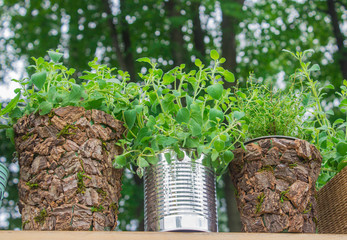 herbs in pots